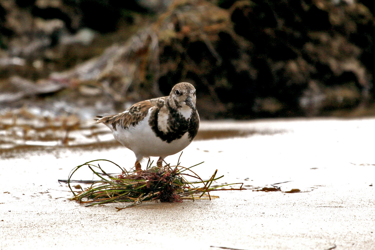 Ruddy Turnstone. Appears to be going into breeding plumage.