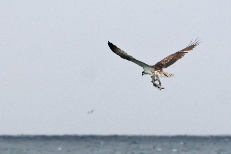 As we were heading to the parking lot in a slight drizzle, we had a glance of a bird diving into the water. We all thought in was a Brown Pelican making a big splash, but out came an Osprey with a large fish in its claws! The Osprey circled for about a minute before it flew off.