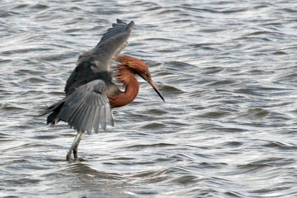 Reddish Egret feeding with spread wings