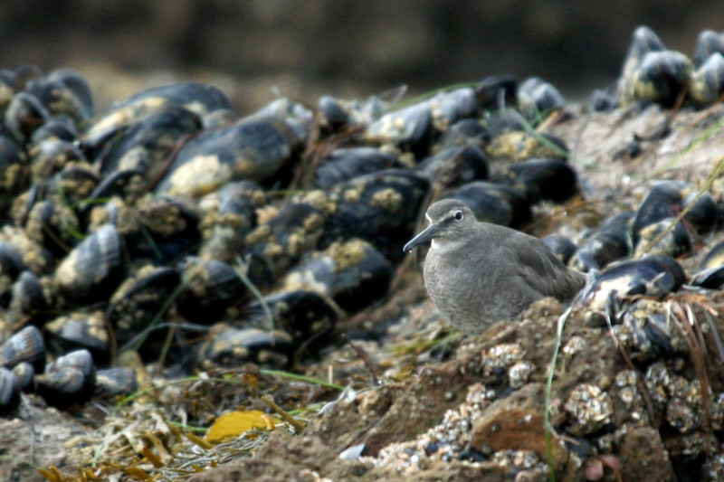 "Wandering Tattler. We looked at this bird for a long time before ID'ing it, some of us are slow observers, or is it ""old"" eyes?"