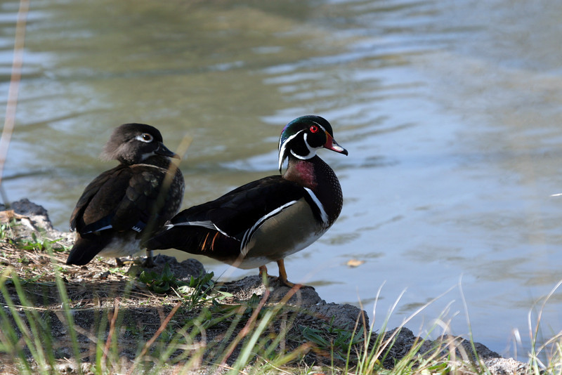 Male and female Wood Duck, always takes a nice photograph!