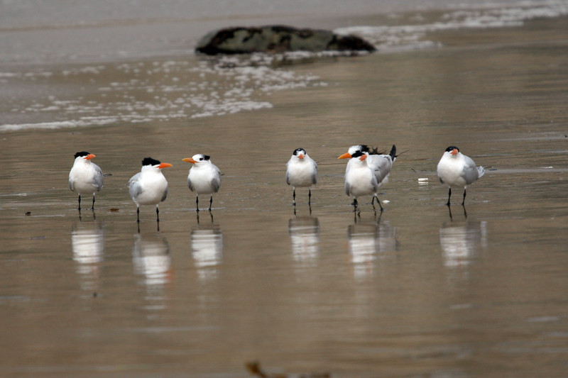 A group to Royal Terns posing for the camera.