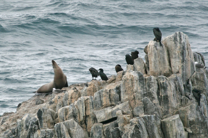 Sea Lion with Cormorants and gulls