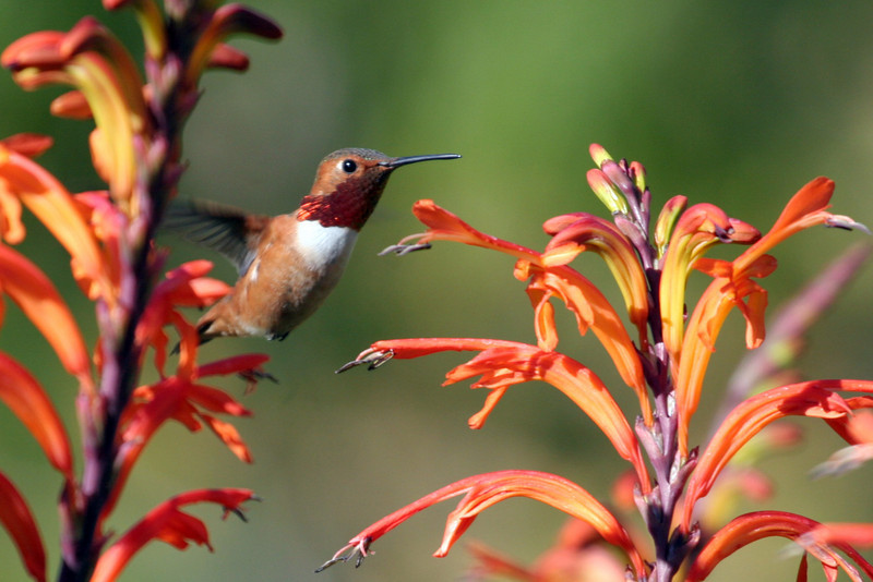 Allen's Hummingbird - South Coast Botanical Garden. There also was a Rufous Hummingbird in this flowers, however I'm not sure this is him.