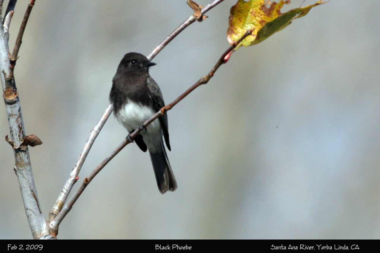 Many Black Phoebes were seen along the river and in the park.