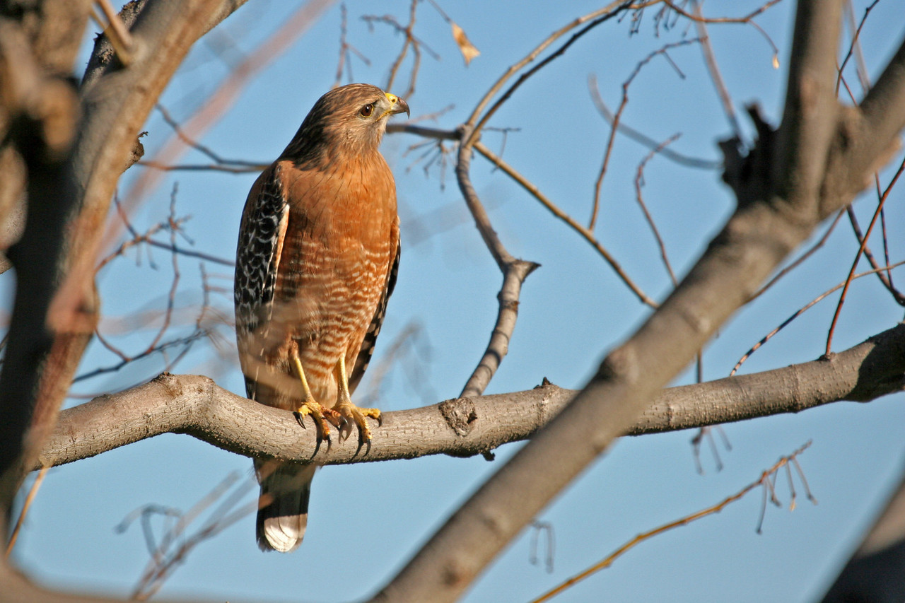 Red-shouldered Hawks in a Jacaranda tree, photo taken through the kitchen window of Mae's house in Yorba Linda, CA.