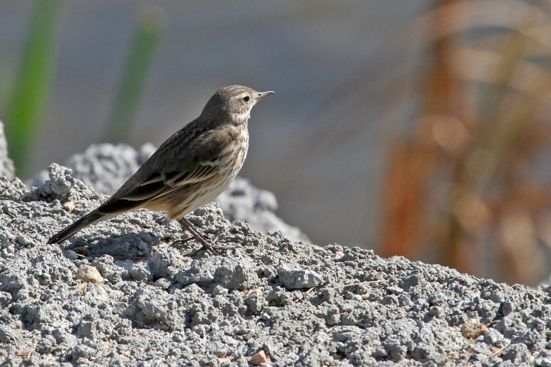 This American Pipit was along the river bank by himself.