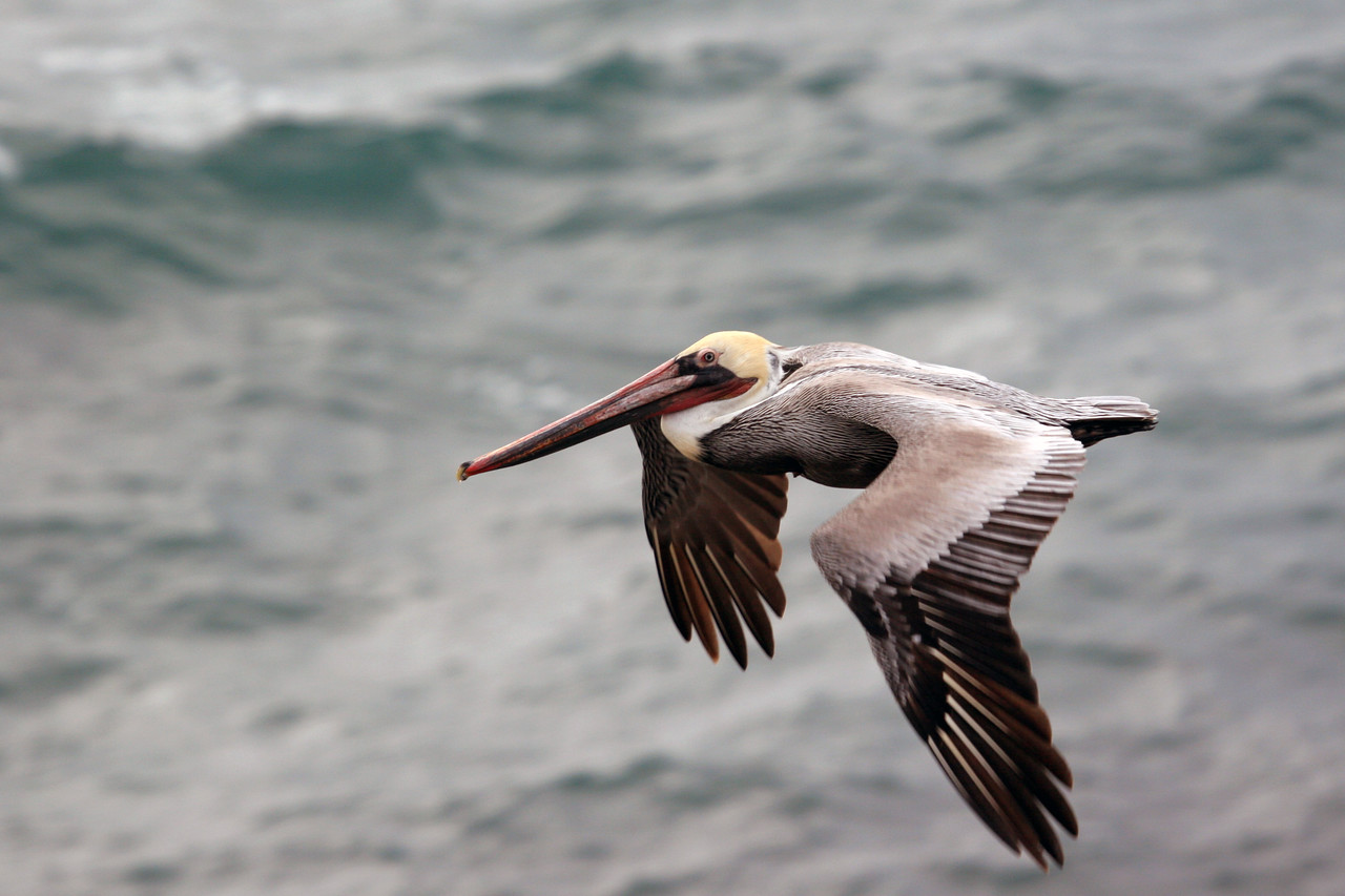 Many Brown Pelicans flying along the bluff. We observed as many as twenty at a time.