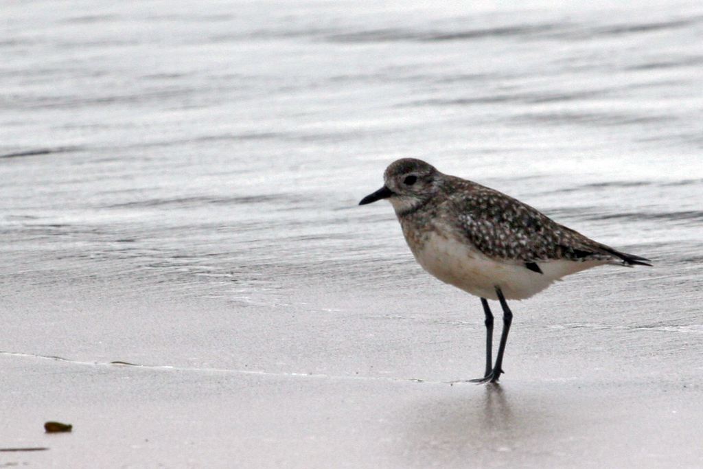 Black-bellied Plover going into its' bredding plumage.