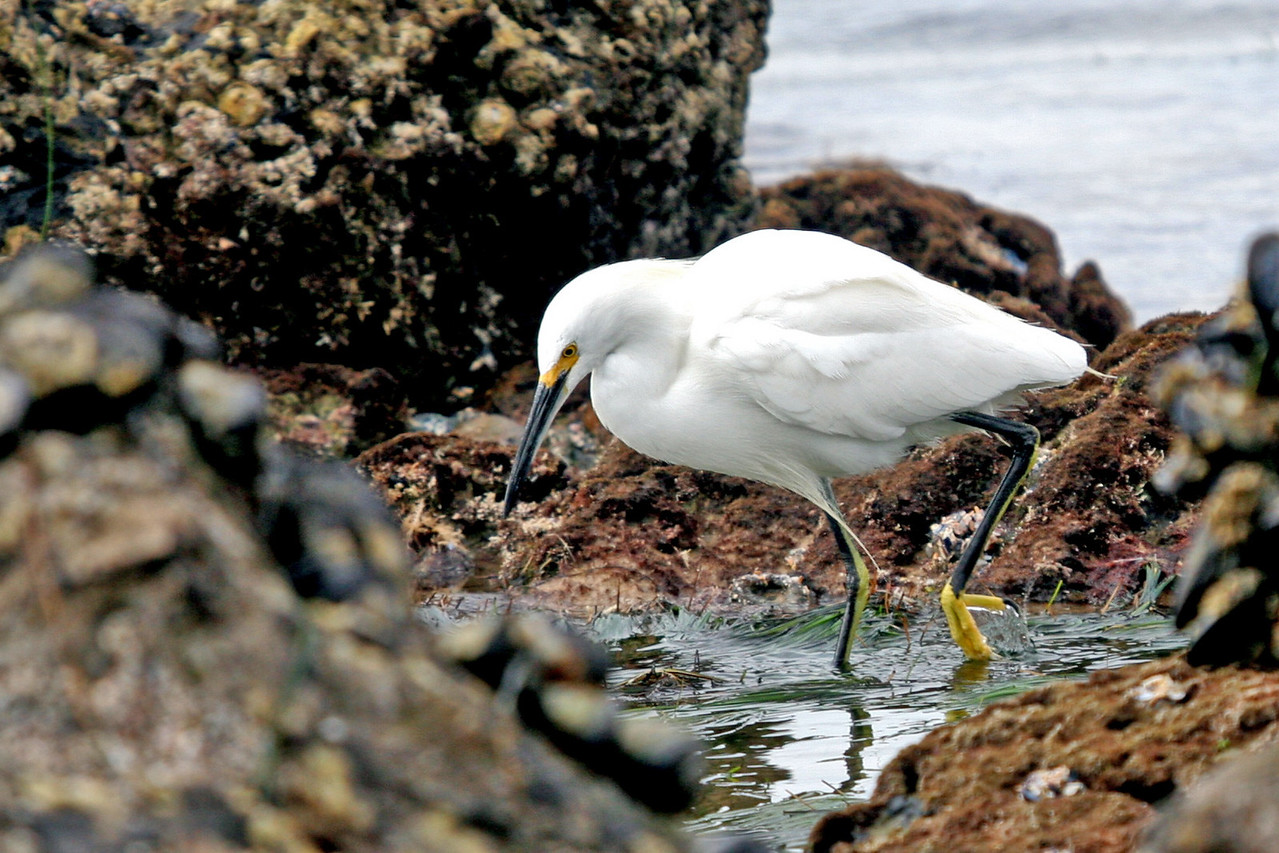 Snowy Egret in a small tidal basin.