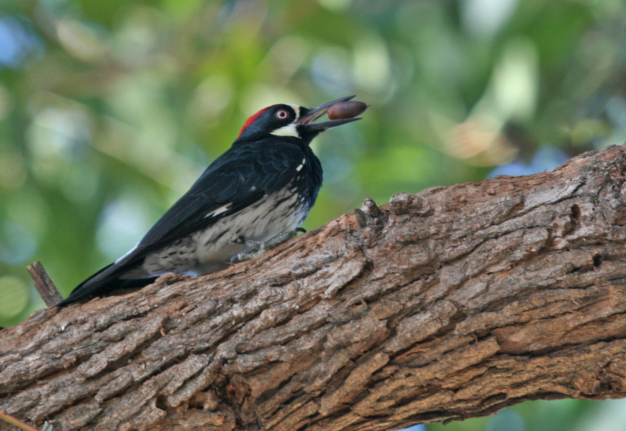 Acorn Woodpecker - Irvine Regional Park, Orange California.