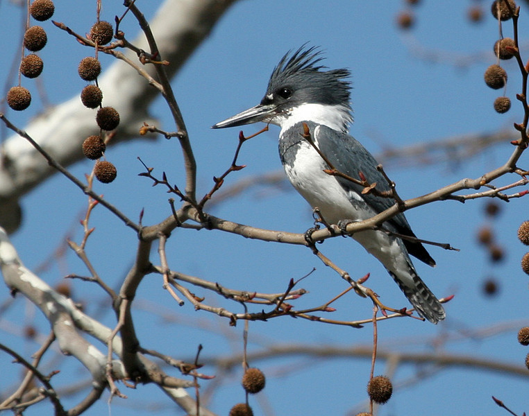 Belted Kingfisher (M) - This Kingfisher was perched above a man made waterfall waiting for some action.