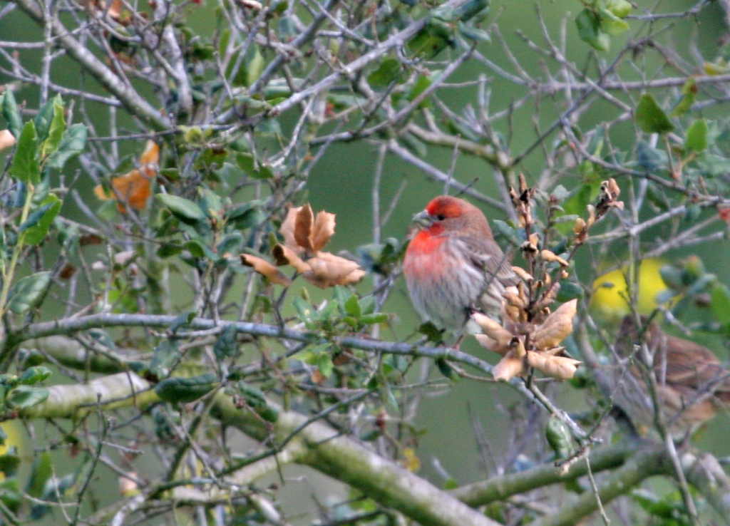 House Finch - Los Carneros Lake, Feb 2010.