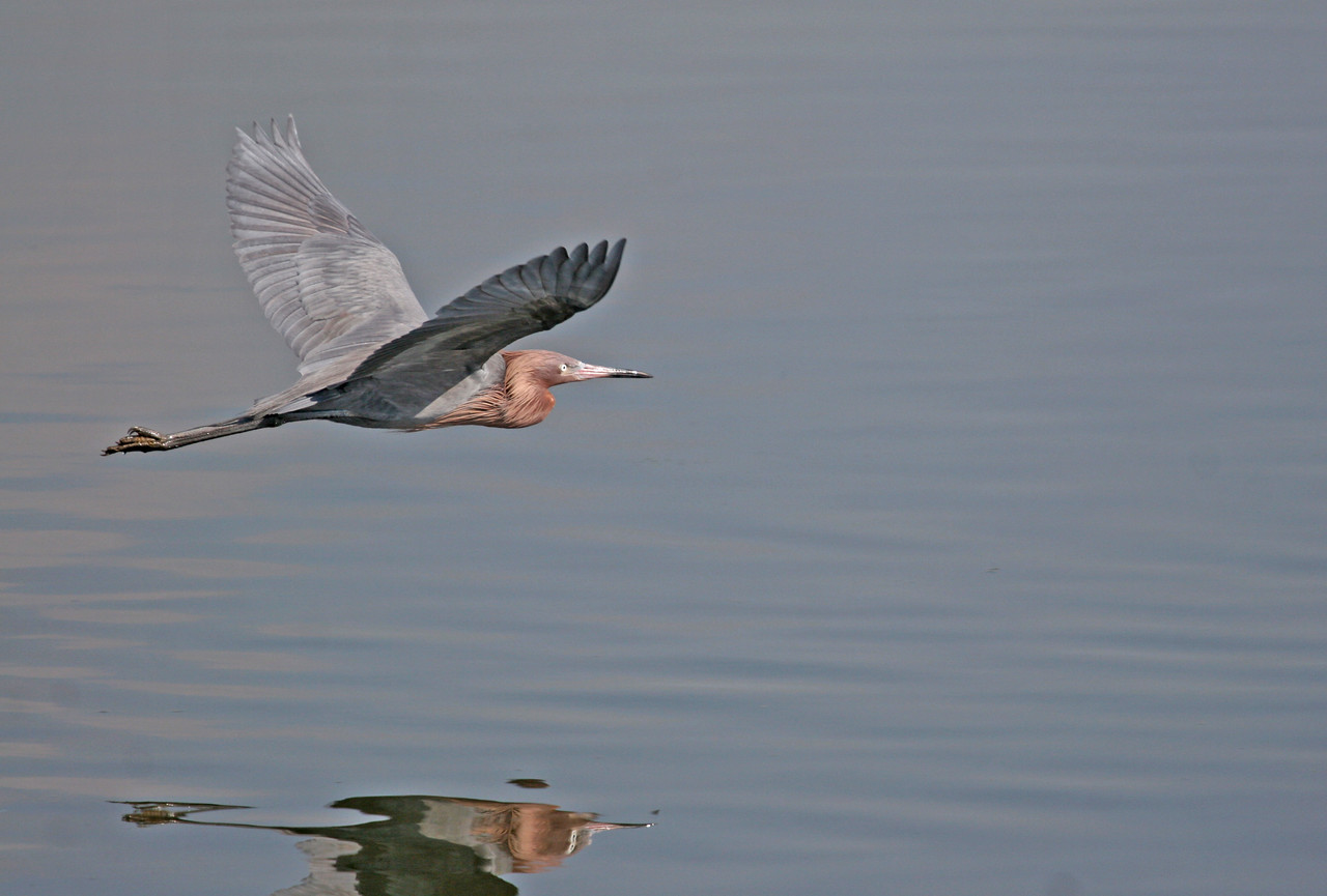 Reddish Egret - Bolsa Chica, Feb 2010. Even a lousy photogapher gets lucky sometime.