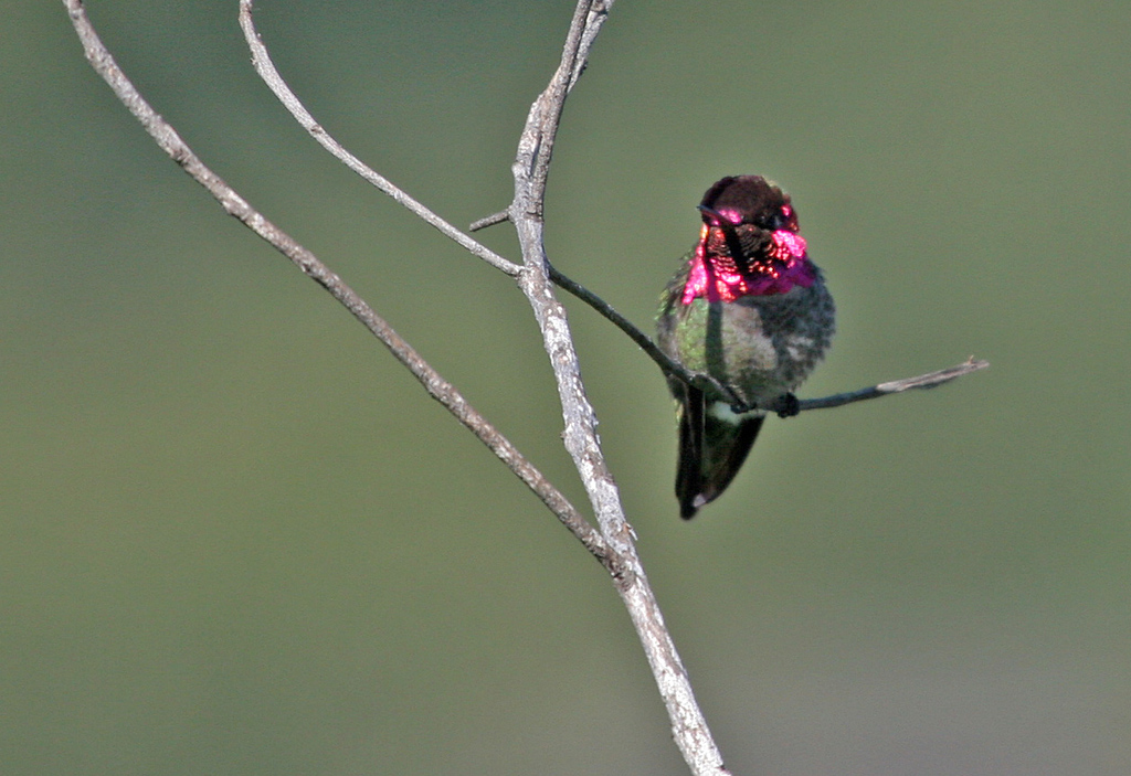 Anna's Hummingbird - Andee Clark Refuge, Feb 2010.