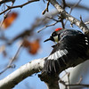 Acorn Woodpecker - Stretching his wings and showing off the wing patch. The woodpecker also has a distinctive white rump that is very visible during flight.