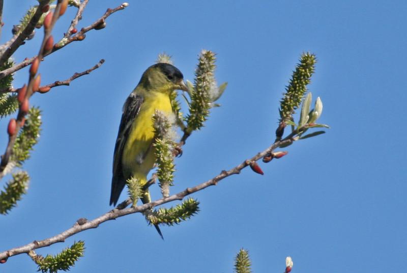 Lesser Goldfinch - Los Carneros Lake, Goleta, Feb 2010