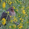 California Towhee - Los Carneros Lake, Goleta, Feb 2010. Once known as the Brown Towhee. Very common and foraged mostly on the ground.