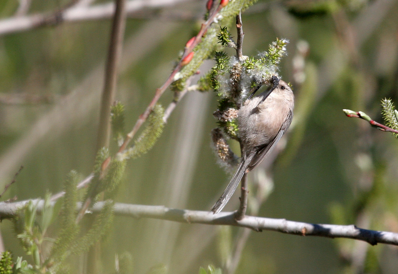 Bushtit - Lake Los Carneros, Goleta. Tough bird to photograph because they're always in motion.