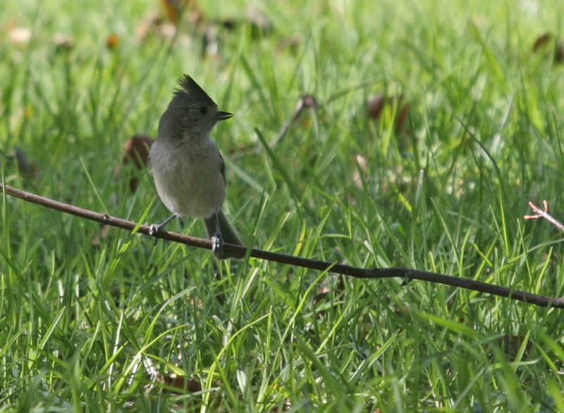 Oak Titmouse - Irvine Regional Park. This bird would not cooperate, he was within inches of sun light, but would not move into it, he went from shade to shade. Also known as the Plain Titmouse.