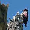 Lewis's Woodpecker - Los Carneros Lake, Goleta, Feb 2010.