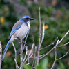 Western Scrub-Jay - Los Carneros Lake, Goleta, Feb 2010. This bird always looks drab to me, but is very colorful in photos. This is the Pacific race with the dark blue breastband.