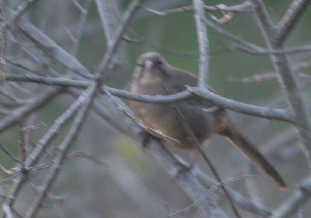 Another lousy photo of our target bird the California Thrasher. It was taken late in the afternoon at Los Carneros Lake. Should have used the flash, he was right in front of me about fifteen feet away !*@8!°.
