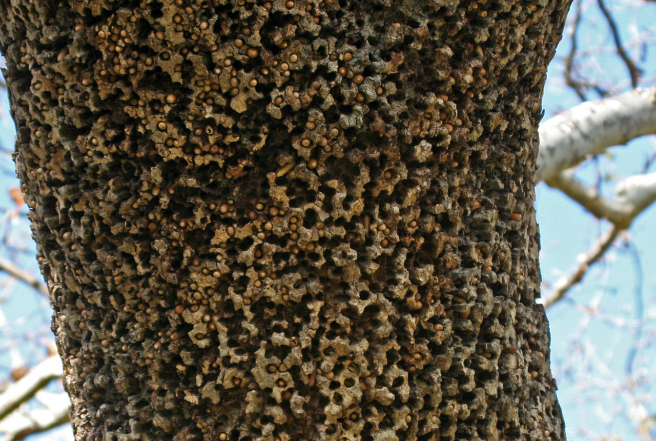 Acorn Woodpecker's cache of acorns in the bark of a Native Sycamore tree. This particular storage area was very close to the ground, within easy reach of man and animal.