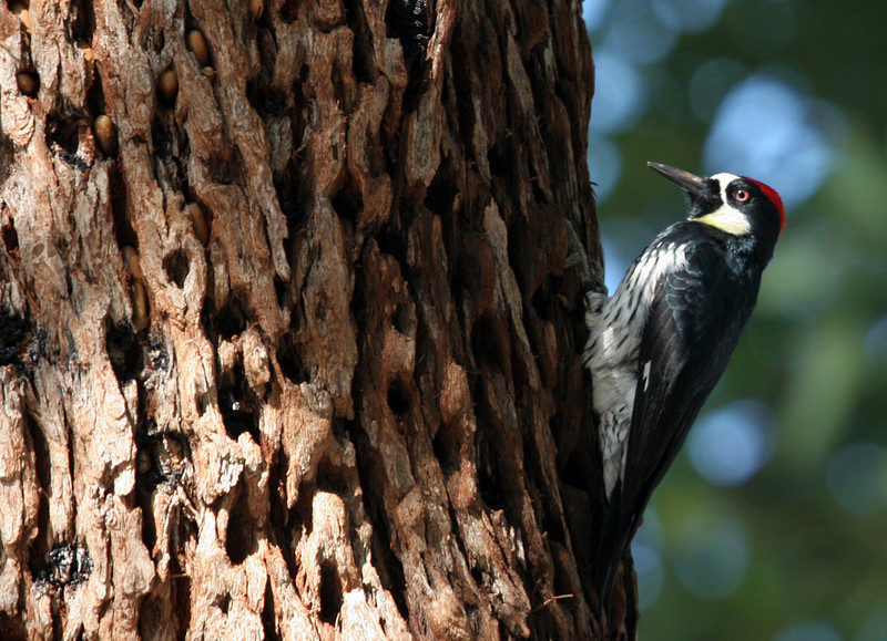 There were many Acorn Woodpecker at Irvine Regional Park and also at Lake Los Carneros. They were noisy and didn't seem to be bothered by traffic or people.