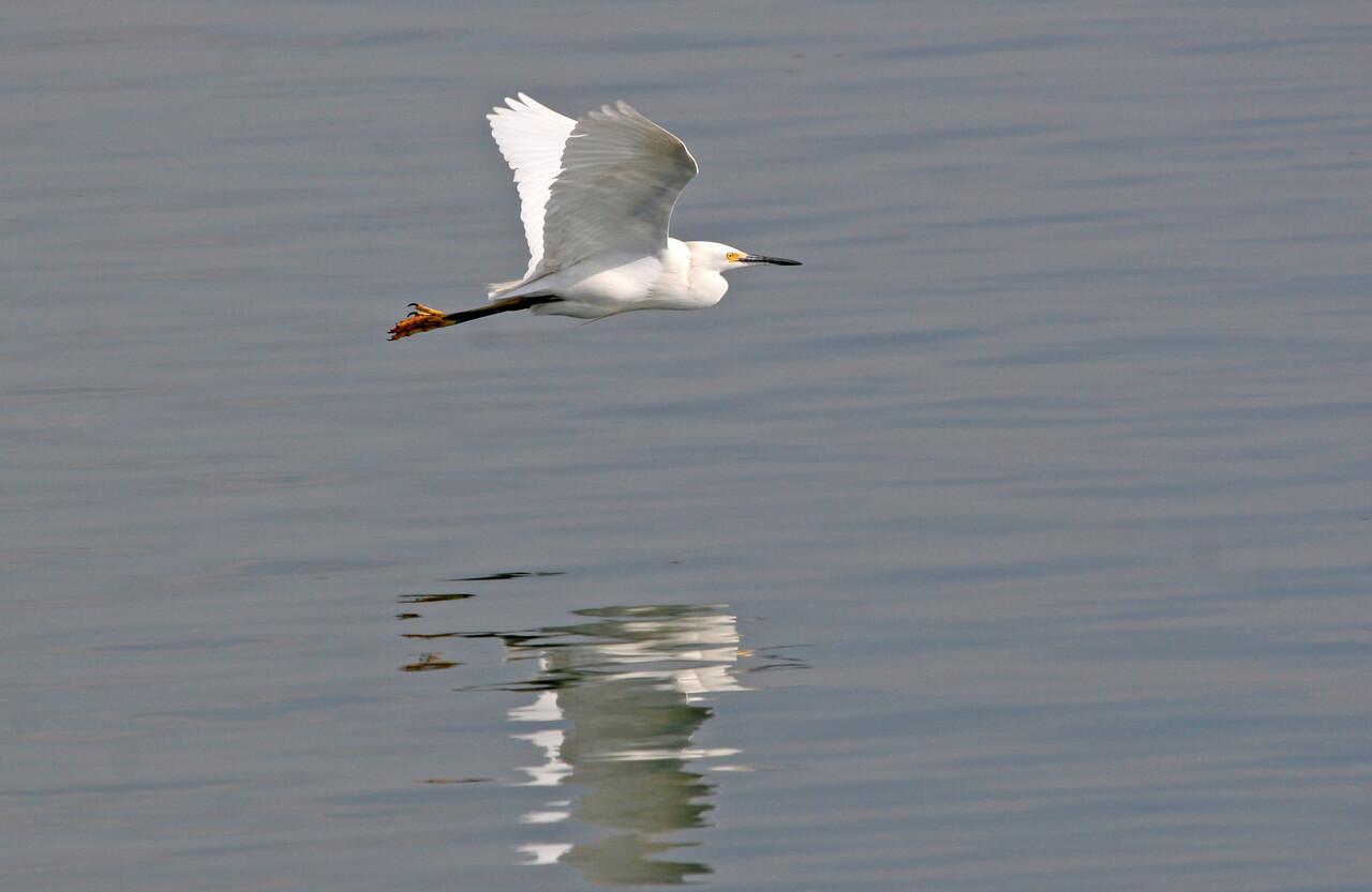 Snowy Egret - Bolsa Chica, Feb 2010