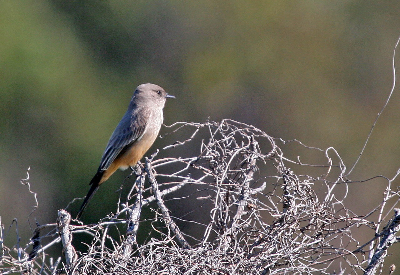Say's Phoebe - Los Carneros Lake, Goleta, Feb 2010