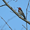Red-breasted Sapsucker - Closely related to the Yellow-bellied Sapsucker. The head is all red, but it was slightly orange.