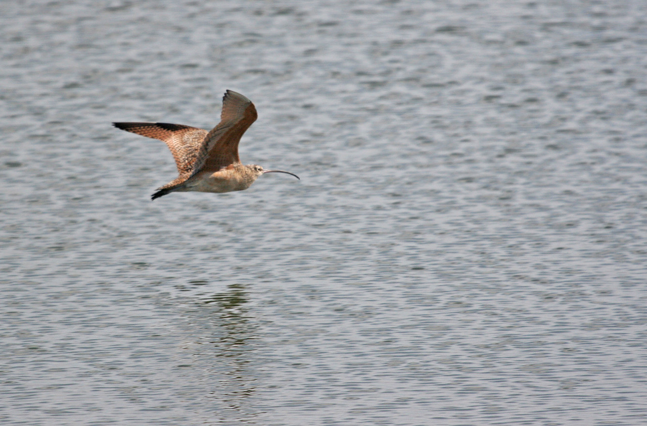 Long-billed Curlew - Bolsa Chica, Feb 2010. He sure can fly, and very fast and direct!!!