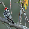 Nuttall's Woodpecker (m) - Their size is between the Downy and a Hairy Woodpecker, but a very different pattern on back.