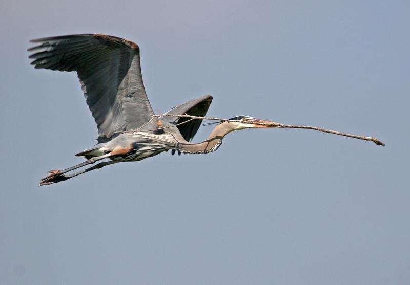 Great Blue Heron - Bolsa Chica, Feb 2010