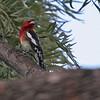 Red-breasted Sapsucker - Irvine Regional Park, Feb 2010