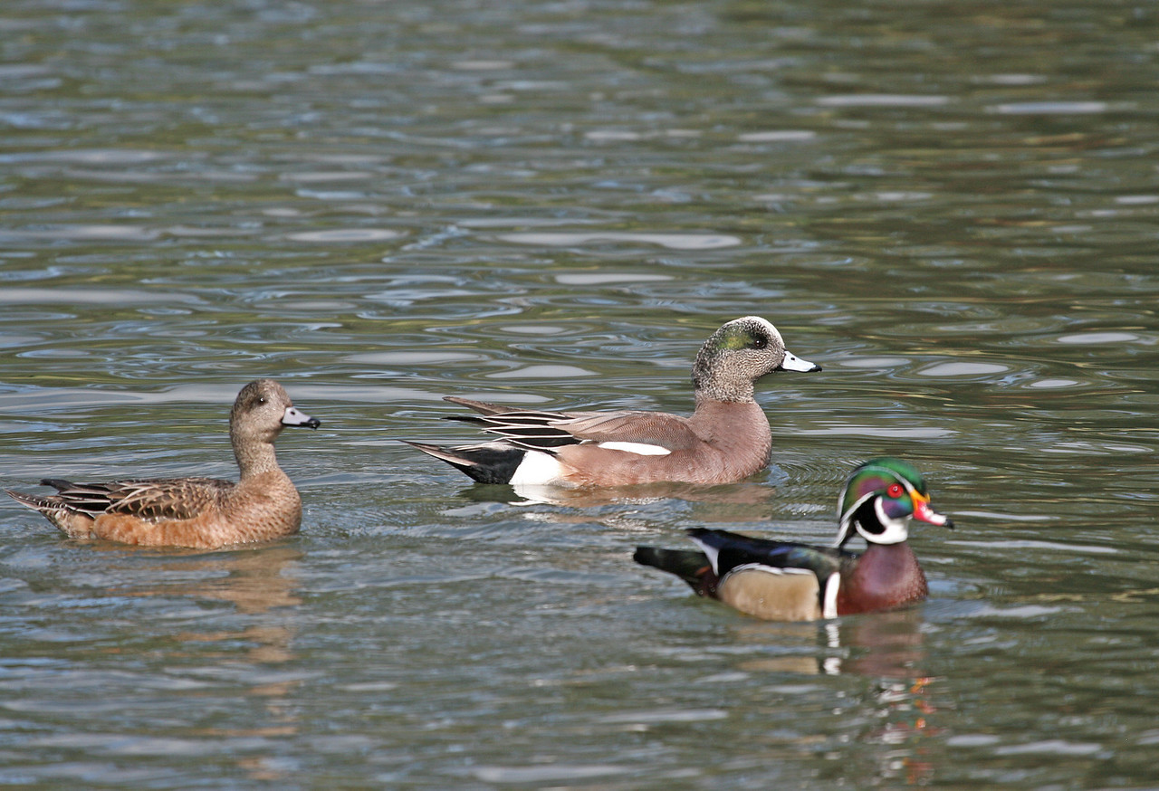 American Wigeon couple with a Wood Duck in the foreground. Irvine Regional Park.