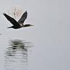 Double-crested Cormorant - Bolsa Chica, Feb 2010.