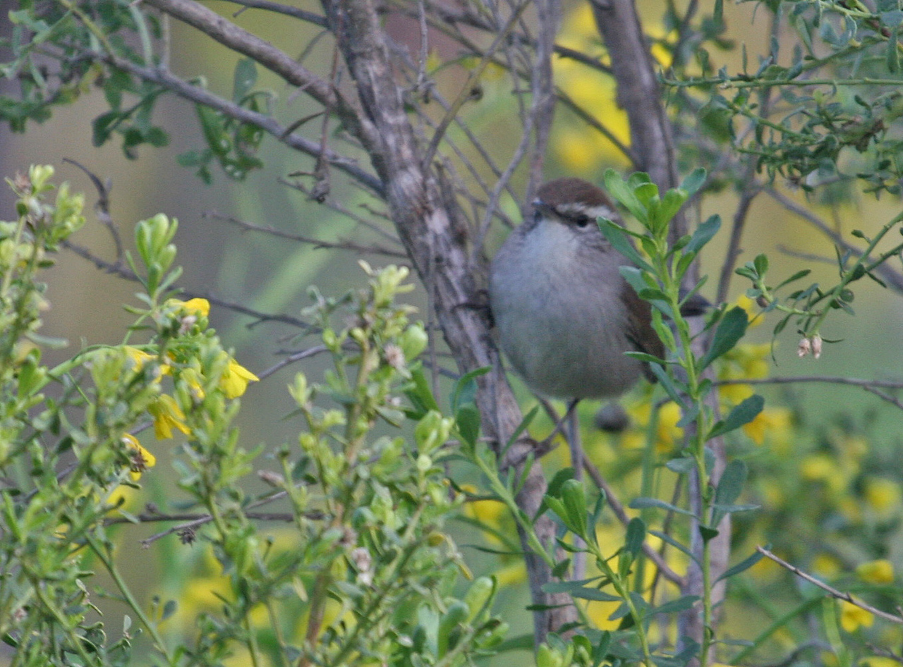 A lousy photo of a Bewick's Wren - Los Carneros Lake, Feb 2010.