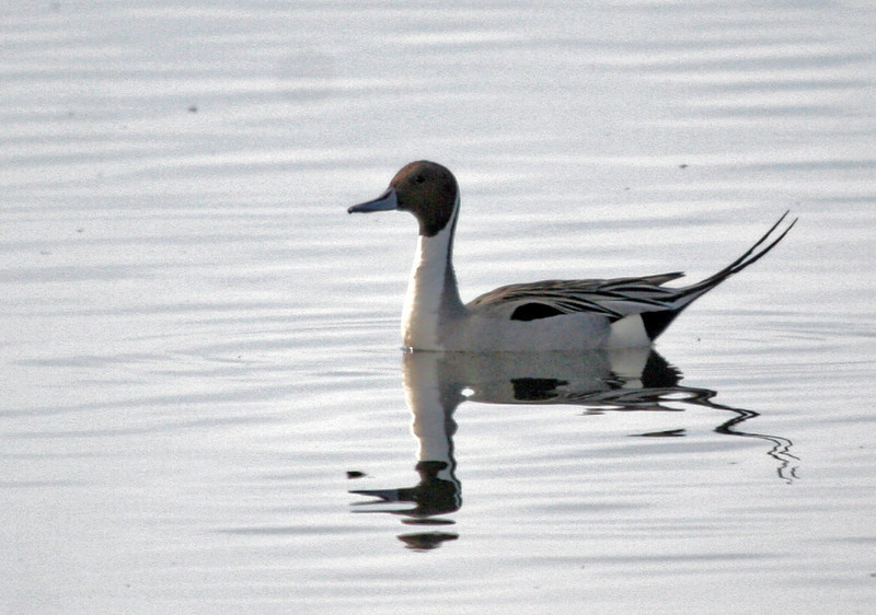 A Northern Pintail with a nice reflection shot into the sun with a dirty lens or sensor (ugh). Bolsa Chica, Feb 2010.