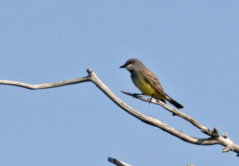 Cassin's Kingbird - Bolsa Chica, Feb 2010. I'm not sure about this ID, but if it is a Cassin's I can claim another lifer!