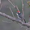 Nuttall's Woodpecker (m) - Irvine Regional Park, Orange, California. Feb 2010.
