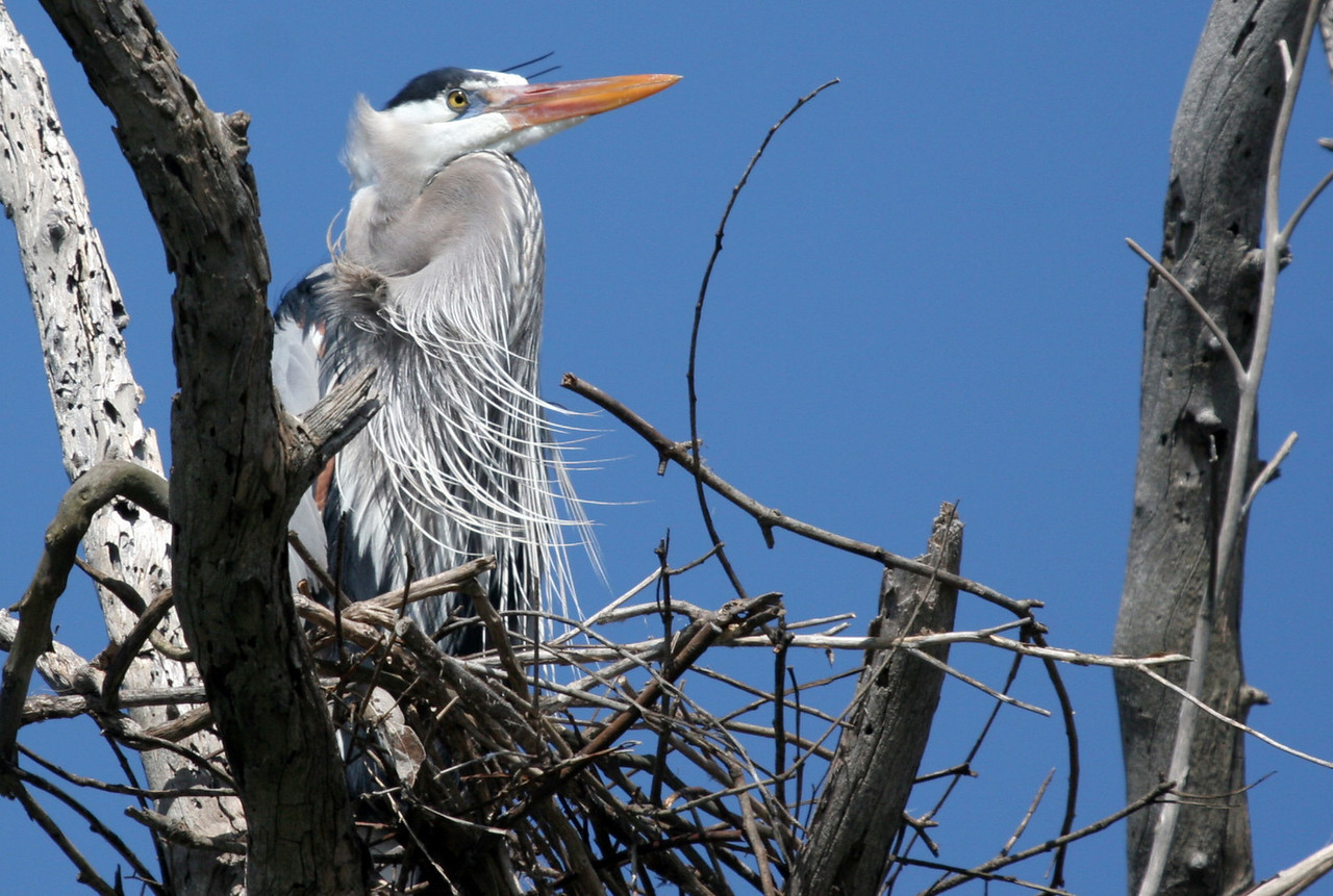 Great Blue Heron - Bolsa Chica, Feb 2010. Observed at least four herons working on this nest? There was also two other nests nearby being built on a date palm tree.