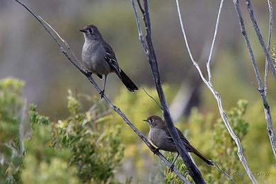 Southern Scrub-robins