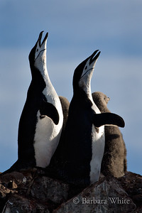 Chinstrap Penguins with Babies