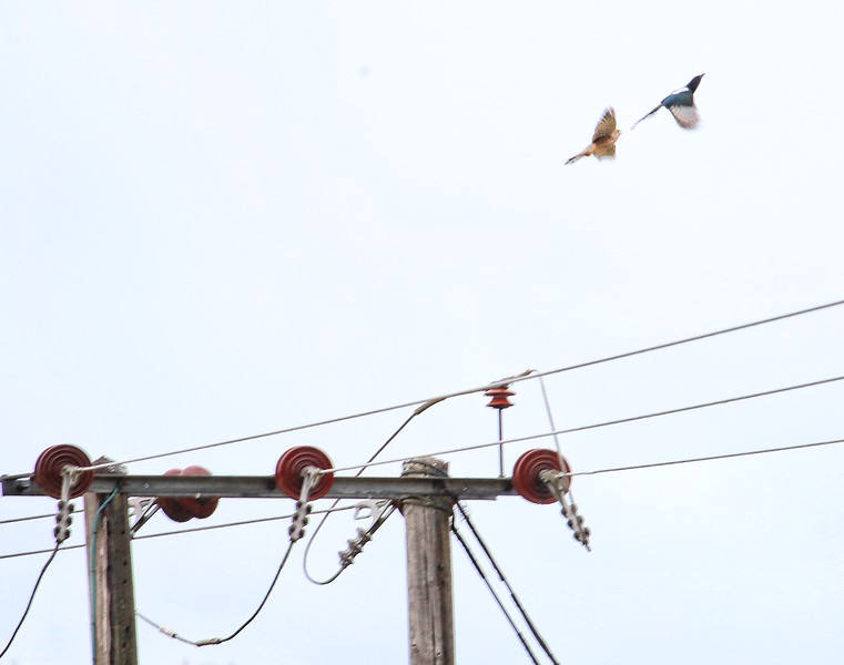 Common Kestral and Magpie