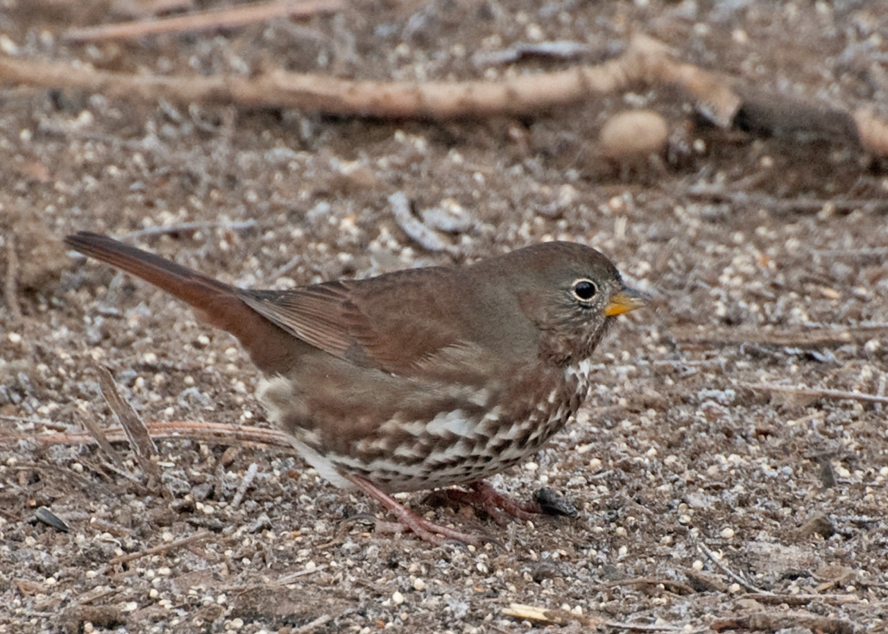 Fox Sparrow, Pacific (Sooty)
