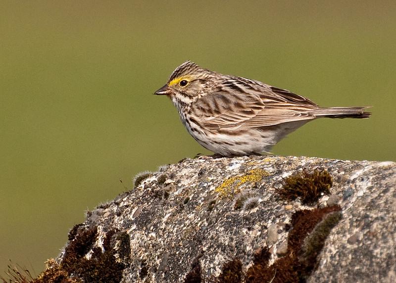 Savannah Sparrow, Centralia, Washington