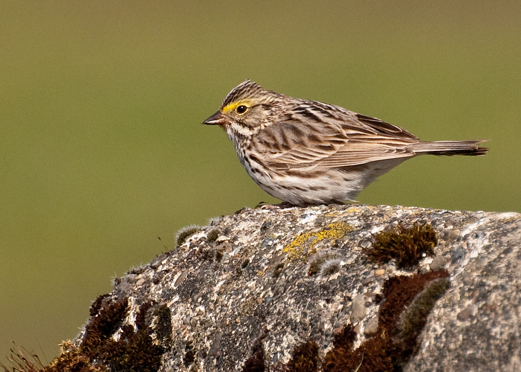 Savannah Sparrow, Centralia, Washington