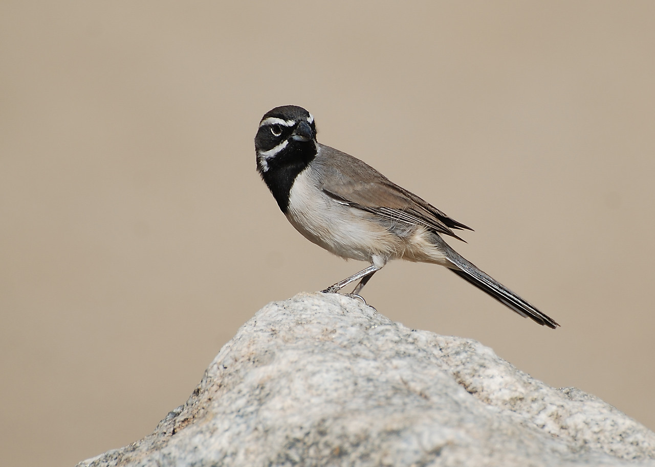 Black-throated Sparrow, Borego Springs, CA